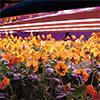 awakosai,エディブルフラワー,食用花,徳島,阿波光菜,植物